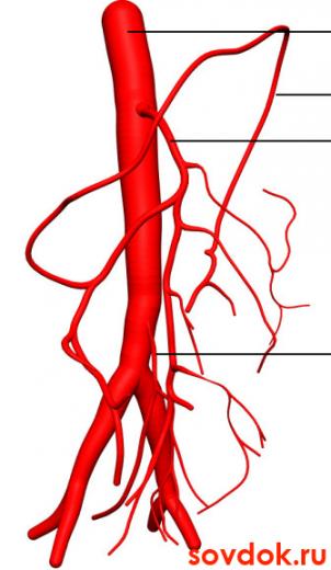 брюшная часть аорты