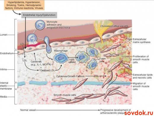 действие статинов организм