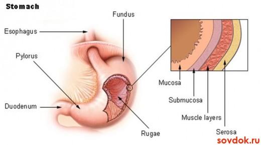 желудок и его стенки