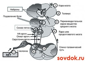 система ноцицепции