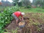 пожилой мужчина работает в огороде нагнувшись