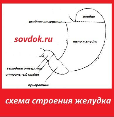 Анатомия желудка человека и