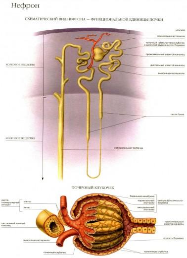 строение почечного нефрона