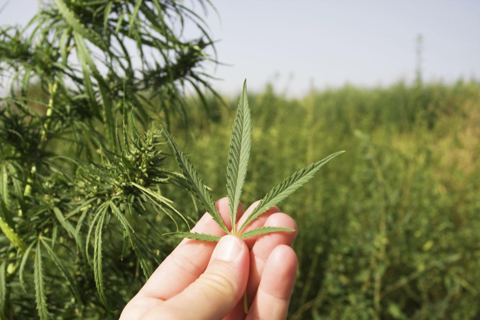 С чем можно столкнуться, употребляя марихуану: опыт врача-нарколога