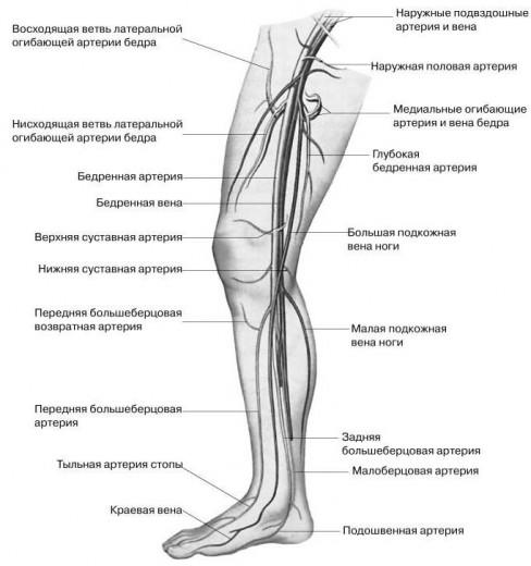 Схема вен нижних конечностей