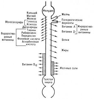 Нормальная перистальтика кишечника