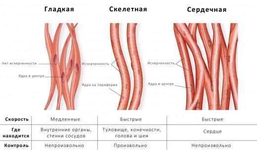 Поперечнополосатая ткань мускулов тела и сердечная мышечная ткань