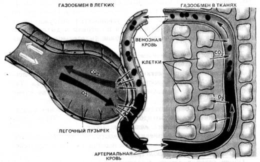 Схема газообмена