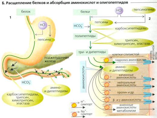 Абсорбция белков
