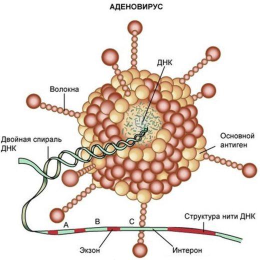 Схематическое изображение строения аденовируса