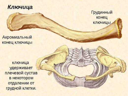 Анатомическое строение и расположение ключицы