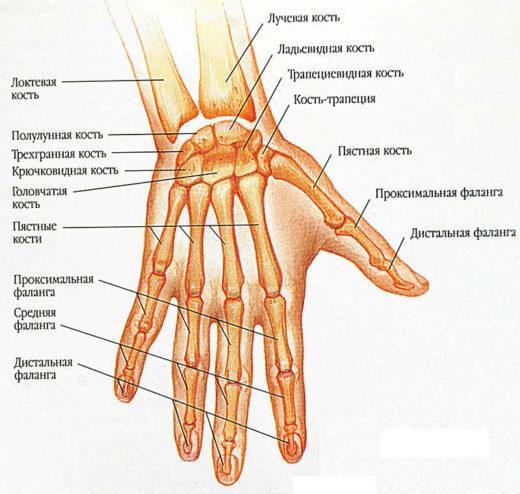 Анатомическое строение пальцев