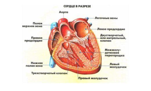 Анатомическое строение сердца в разрезе