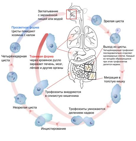 Схема развития шигеллёза