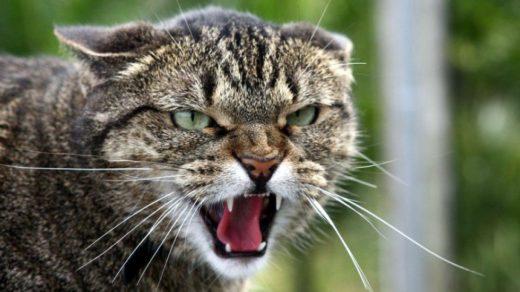 Оскалившаяся кошка
