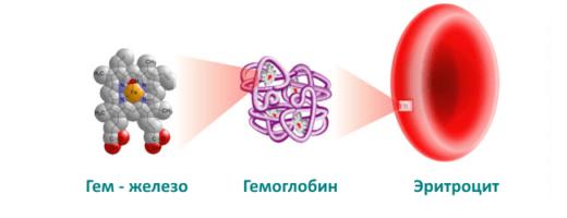 Эритроцит и гемоглобин