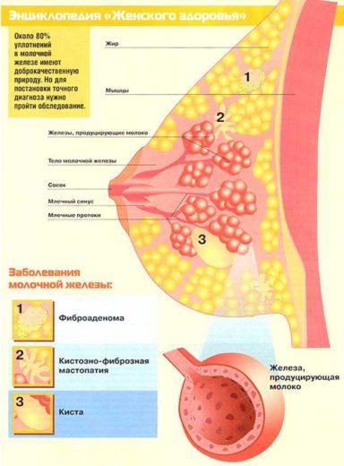 Из чего состоит молочная железа