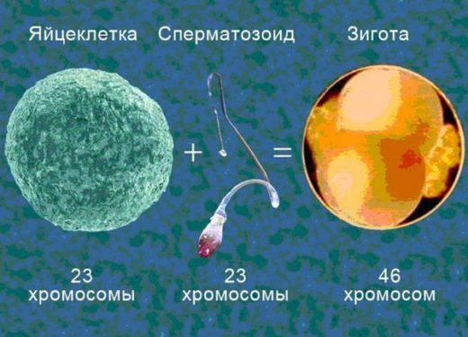 Хромосомный набор половых клеток человека