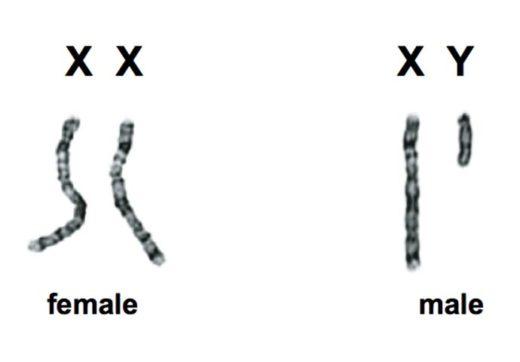 Половые хромосомы