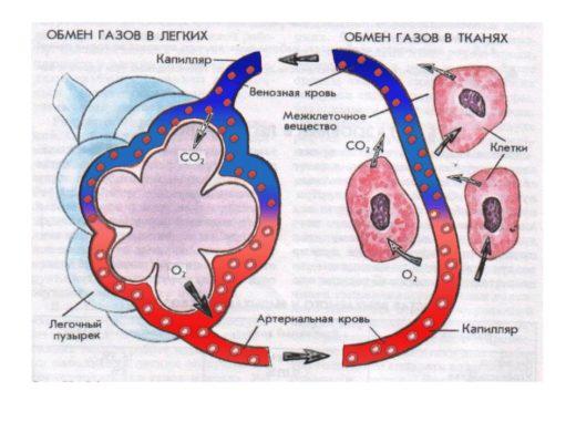 Лёгочное и тканевое дыхание (схема)