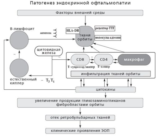 Патогенез эндокринной офтальмопатии — схема