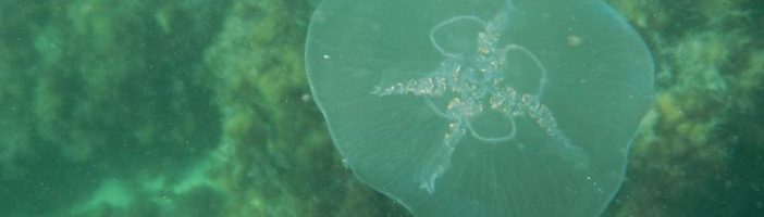 Медуза Аурелия