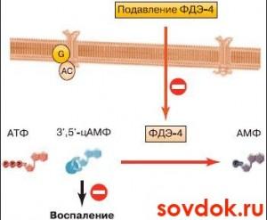 механизм действия рофлумиласта