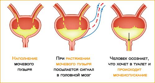 Механизм опорожнения мочевого пузыря