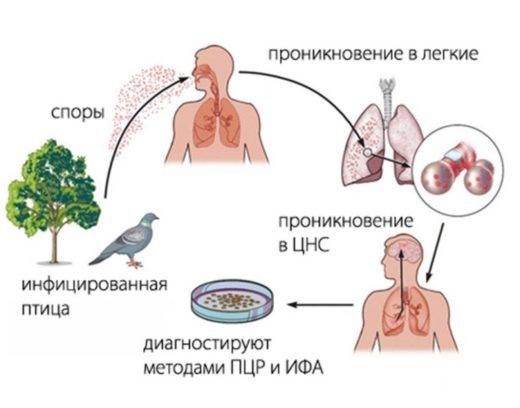 Механизм передачи орнитоза