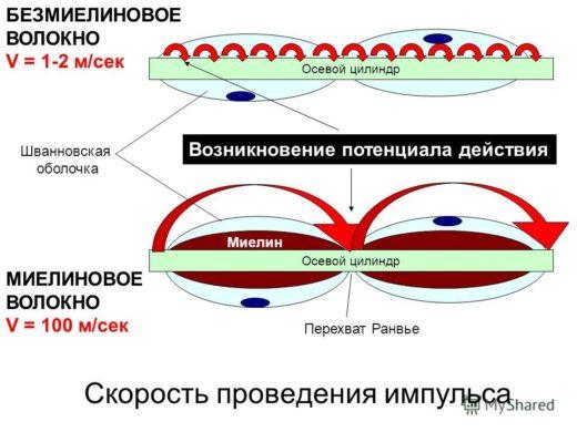 Схема скорости передачи нервных импульсов