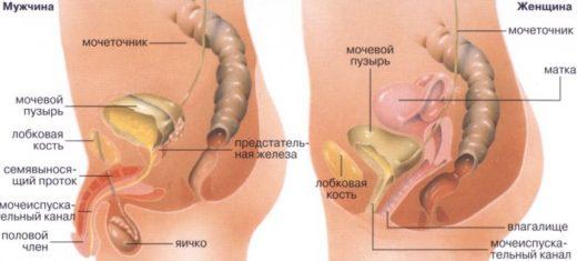 Мочевыделительная система женщины и мужчины