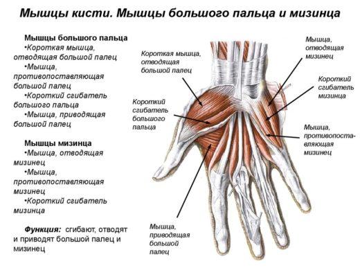 Мышцы кисти (схема)