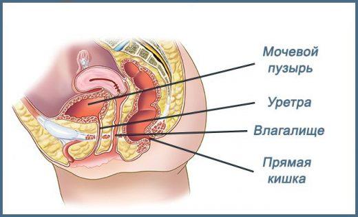 органы малого таза женщины
