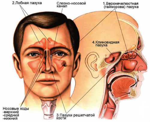 схема нахождения носовых пазух