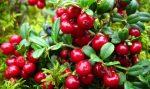 Листья и ягоды брусники