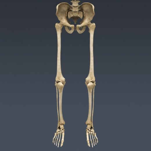 Кости ног