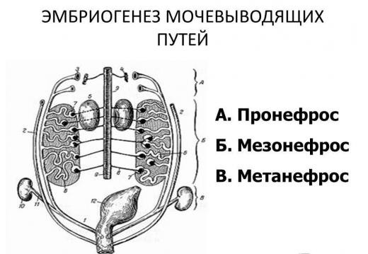 Внутриутробное развитие почки (схема)