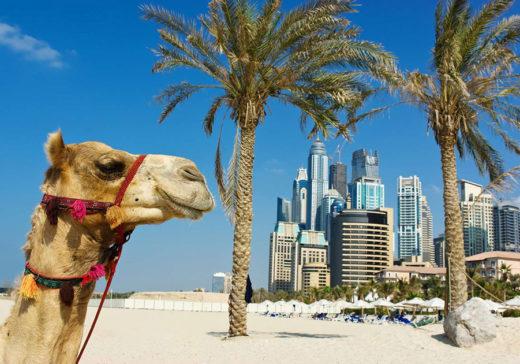 Верблюд на фоне пальм и небоскрёбов