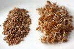 пророщенные ростки пшеницы