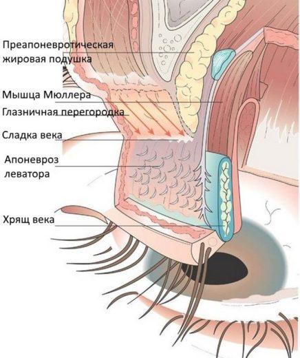 Строение верхнего века глаза
