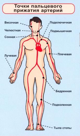 Точки пальцевого прижатия артерий (схема)
