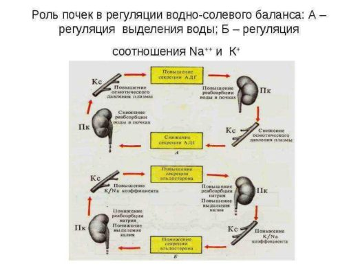 Регуляция почками водно-солевого обмена (схема)