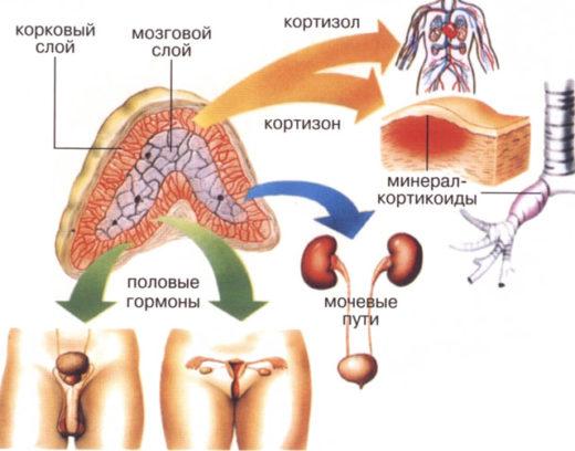 Роль гормонов надпочечников