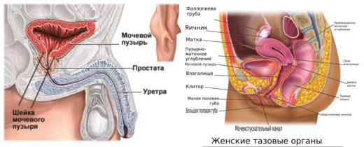 схема строения мужской и женской мочевыделительной системы