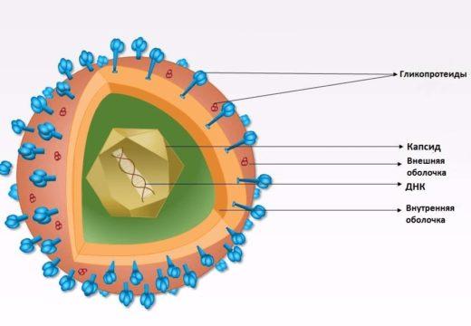Схема вируса герпеса