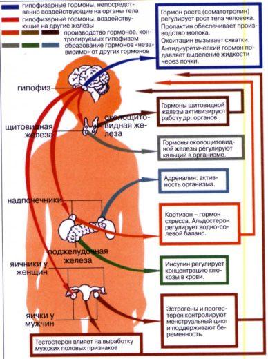 Схема эндокринной системы