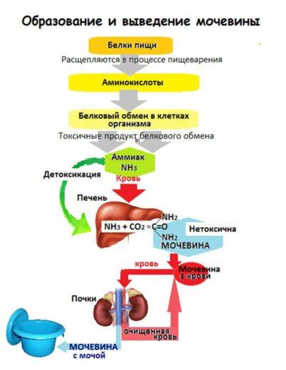 Схема обмена мочевины в организме