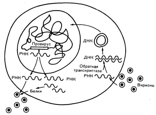 Схема размножения вируса в клетке