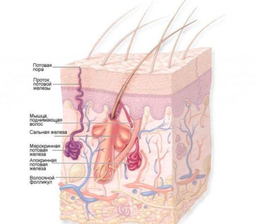 Схема строения кожи и подкожной клетчатки