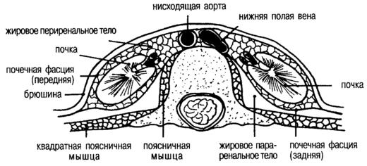 Схема строения забрюшинного пространства
